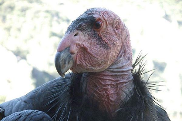 0625-california-condor-lead-poisoning_full_600
