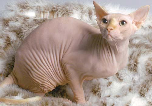 canadian-sphynx-cat-22807415